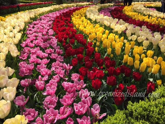 tulips-in-amsterdam-netherlands