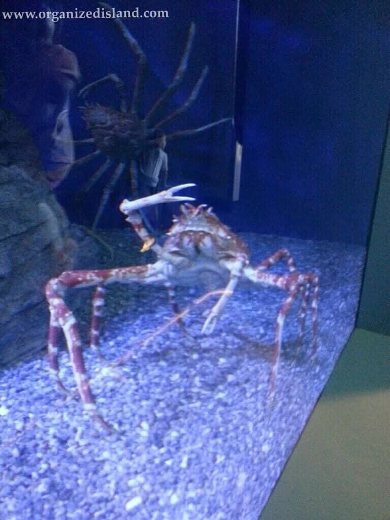 Things to see at the aquarium - this Japanese Spider Crab.